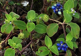 Blue berries Jardin DW Ms