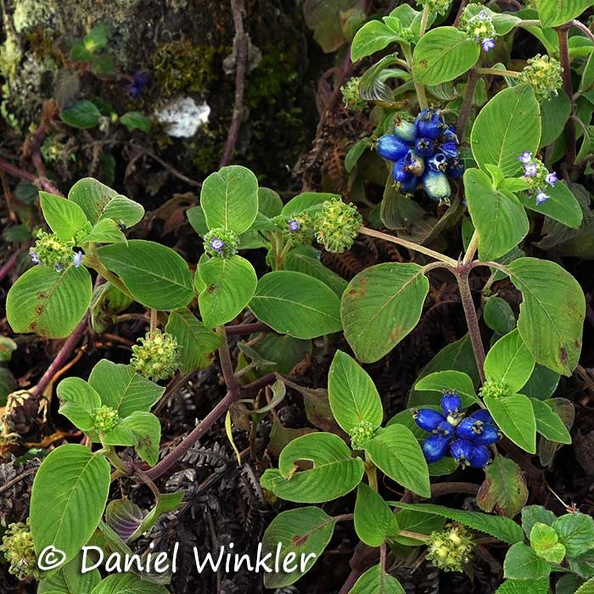 Blue berries Jardin DW Ms.JPG