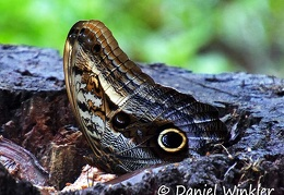 Boomerang owl butterfly Caligo oedipus Nymphalidae DW Ms-1562867235