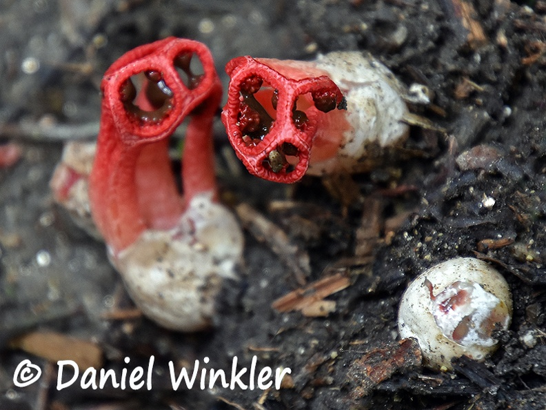 Clathrus pair top egg Tayrona DW Ms.jpg