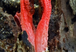 Clathrus wood Tayrona2 DW Ms