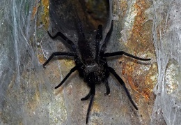 Linothele megatheloides Ffunnel web spider DW Ms