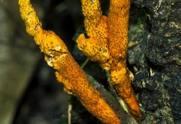 Metacordyceps martialis RC17 DW Ms-1987466574