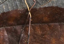 Ophiocordyceps sp DW Ms