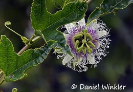 Passiflora edulis Purple passion fruit DW Ms-669921099