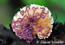 Purple worms on mushroom DW Ms