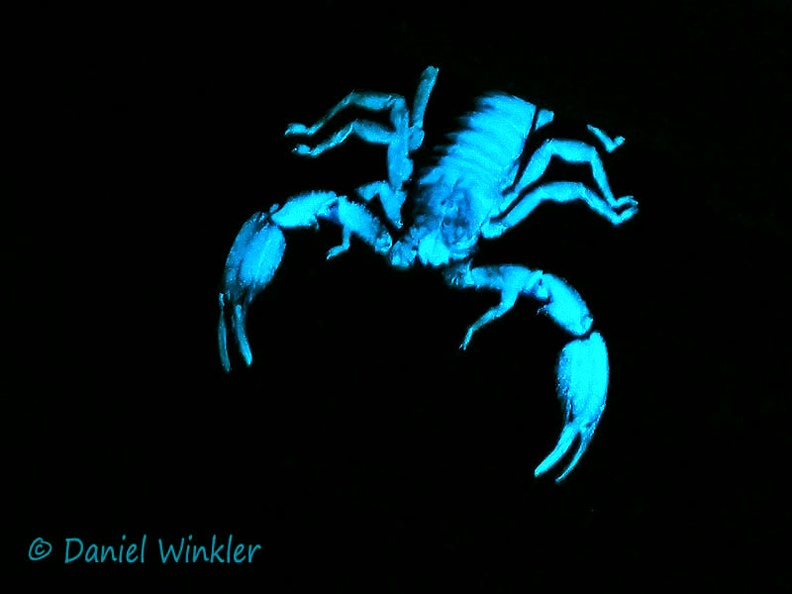 Scorpio in UV light Rio Claro DW Ms-285326843.jpg
