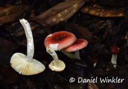 Russula red Jardin DW Ms