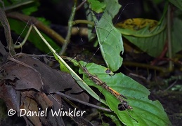 Stick insect Phasmatodea  DW Ms-738597943
