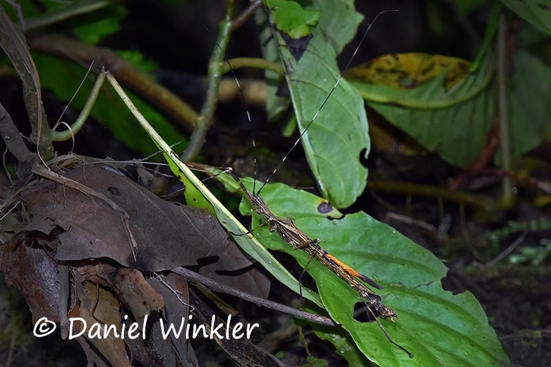 Stick insect Phasmatodea  DW Ms-738597943.jpg