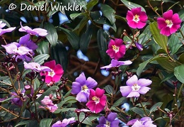 Tibouchina lepidota flowers DW Ms