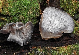 Auricularia sp Ms