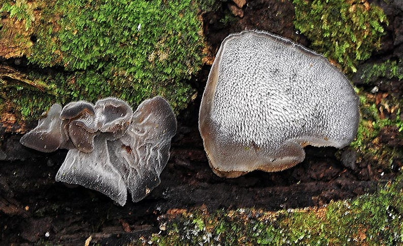 Auricularia sp Ms.jpg