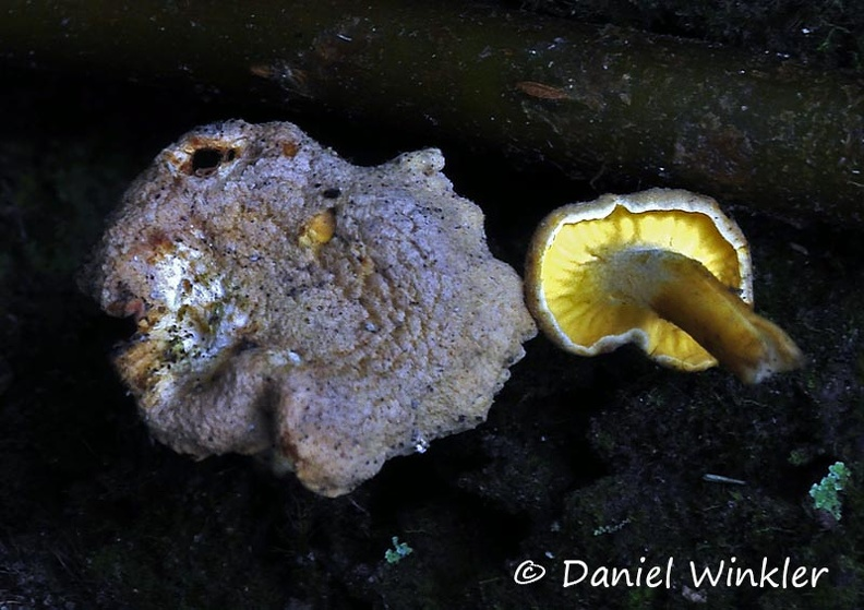 Cantharellus cf cibarius Chicaque 2014 DW Ms.jpg
