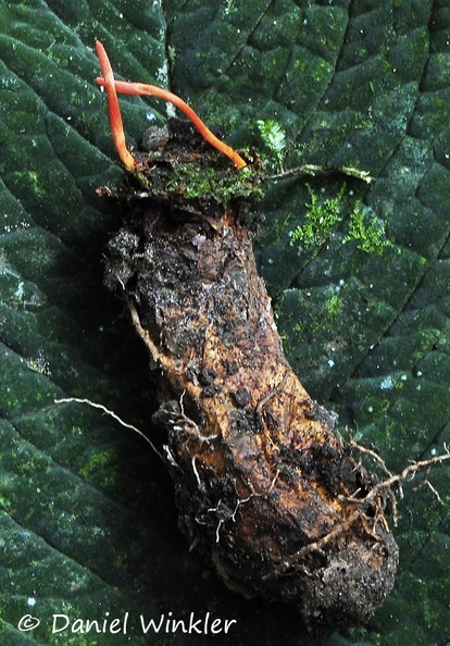 Cordyceps caloceroides excavated Chicaque DW MS.jpg