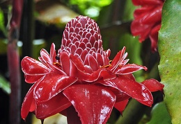 Etlingera elatior Torch ginger Cr Ms