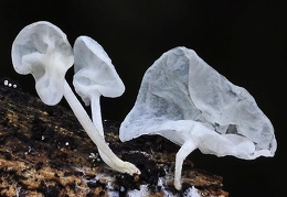 Fungus translucent Chicaque DW Ms
