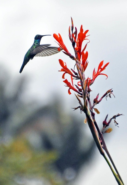 Humming bird Botanical garden.jpg