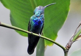 Humming bird Botanical