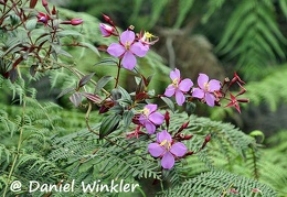Tibouchina flowering branch DW Ms