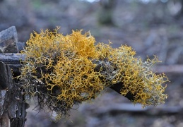 A cool lichen, may be a Lethariella, but that is just a guess...