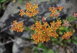 A tiny flowered, but great colored Sedum found in 4500m.