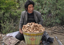 Matsutake collector with their heavy harvest waiting until his buddy comes by motorcycle to fetch him.
