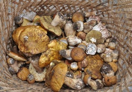 A basket full of King boletes (Boletus edulis sensu lato)