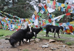 Goats and prayer flags