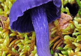 Finding the amazing Laccaria amethystea is always a treat! Luckily it is not rare.