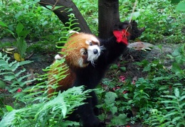 Red Panda (Ailurus fulgens) checking out flower S