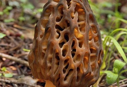 Morchella snyderi  mature  Cr DW S
