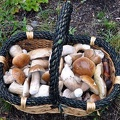 King bolete basket 9-18-2013 MS.jpg