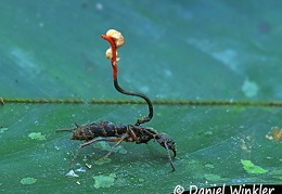 Ophiocordyceps australis on ant with an hyperparasite