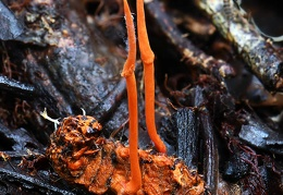 Ophiocordyceps on larva with 2 stromata