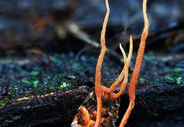 Ophiocordyceps on larva with 4 stromata