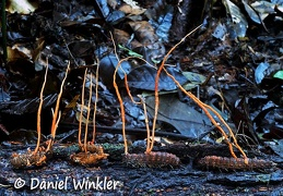 Ophiocordyceps red parade