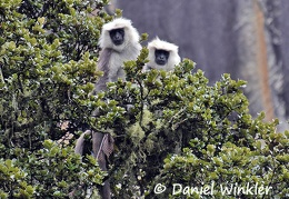 Langurs in an oak tree close to Taktsang = Tiger's Nest