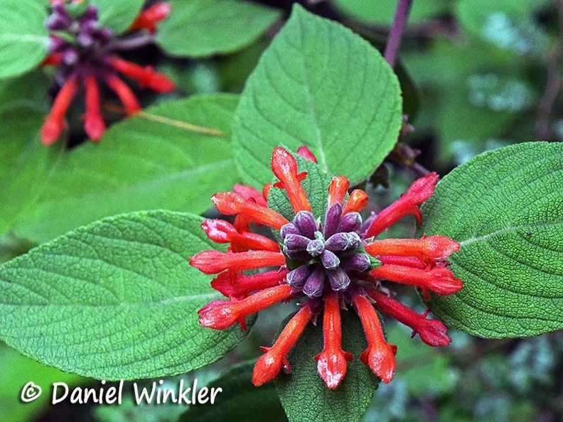 Colquhounia coccinea flower close up hyb DW Ms.jpg