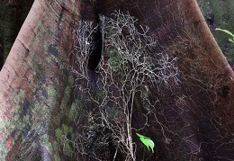 Mycelium climbing on tree base