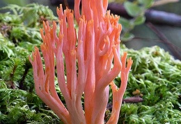 A beautiful pink-orange Ramaria above Tingtibi, Zhemgang that is locally eaten.