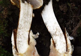 Squamanita transected shows the parasitic mushroom growing on top of the Amanita volva.