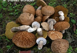 Nice collection of this choice edible Boletus reticuloceps found under a few spruce trees