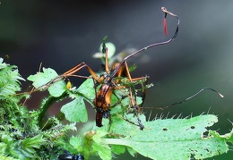 Ophiocordyceps on odontomachus ant seen in Isla Escondida