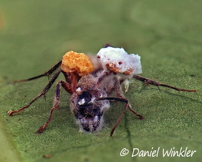 A past prime Ophiocordyceps binata with hyperparasite