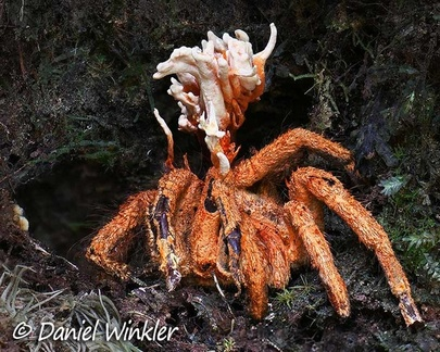 Cordyceps caloceroides on a Tarantula in situ near Pitalito