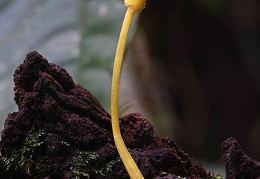 young Leucocoprinus sp. in Isla Escondida, Putumayo