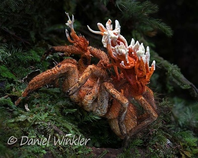 Cordyceps caloceroides  on a Tarantula seen near Pitalito