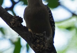 Red crowned woodpecker (Melanerpes rubricapillus), Cali Ms