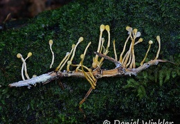 Beauveria diapheromeriphila, the stick bug Cordyceps past prime seen in La Escondida, Putumayo